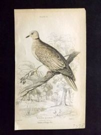 Jardine 1830's Antique Hand Col Bird Print. Collared Turtle